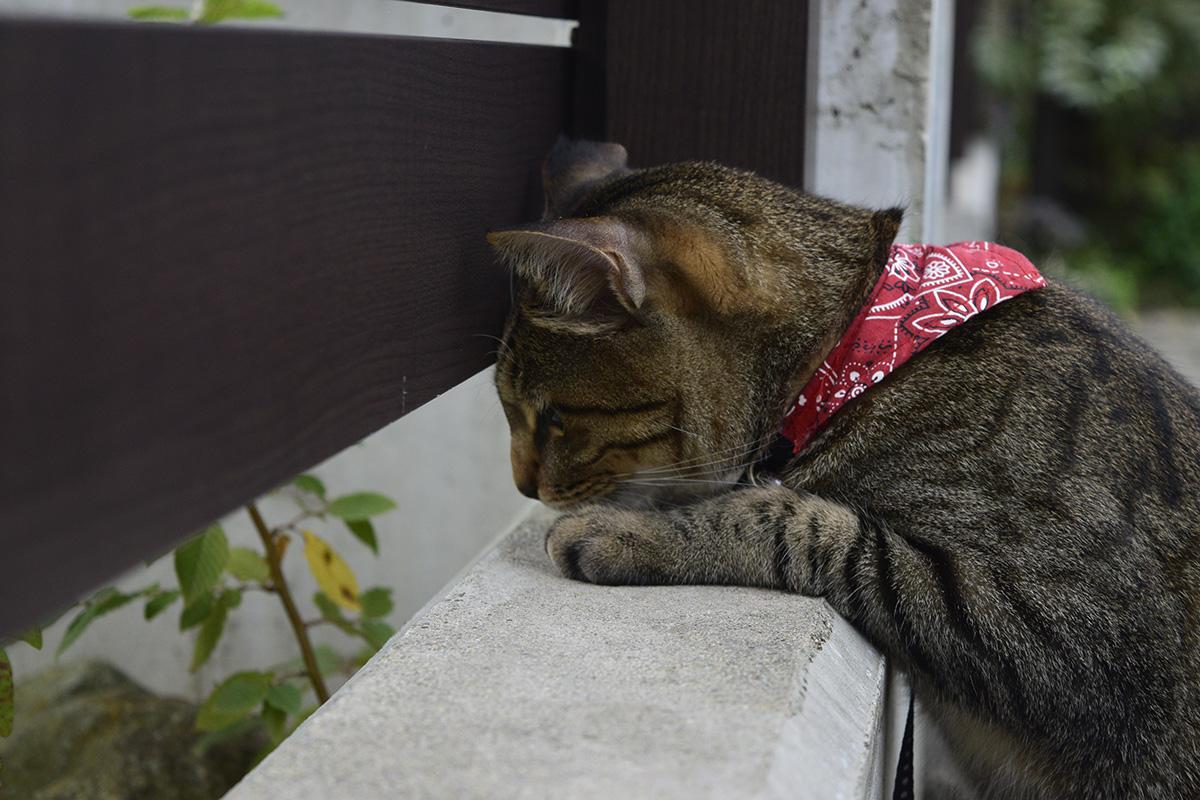 バッタに逃げられてしょんぼりするキジトラ猫の虎ノ介