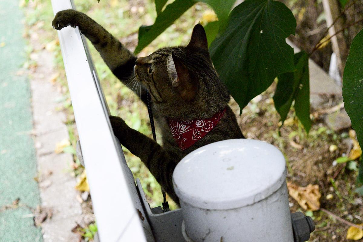 ガードレールで遊ぶキジトラ猫の虎ノ介
