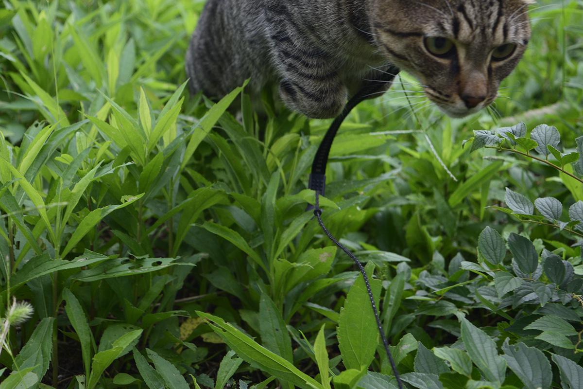 草むらで跳ねるキジトラ猫の虎ノ介