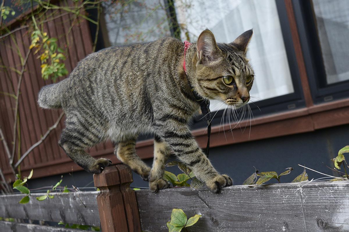 庭のフェンスの上を歩いてトンボを観察するキジトラ猫の虎ノ介