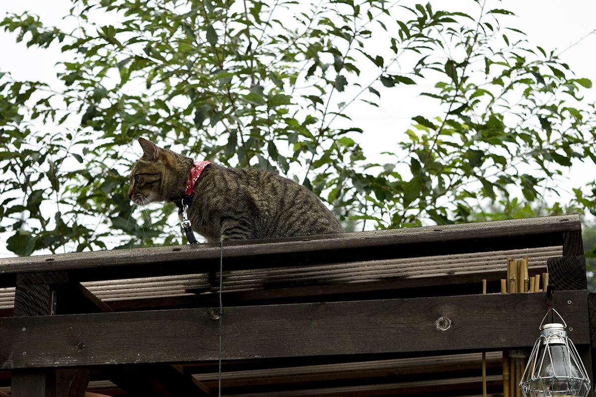 小屋の屋根にのぼるキジトラ猫の虎ノ介