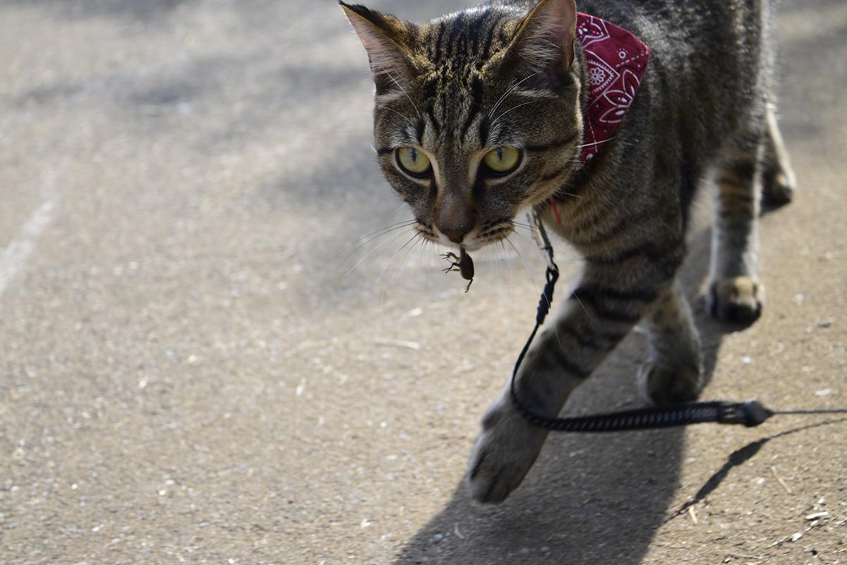カナヘビをくわえて歩く虎ノ介