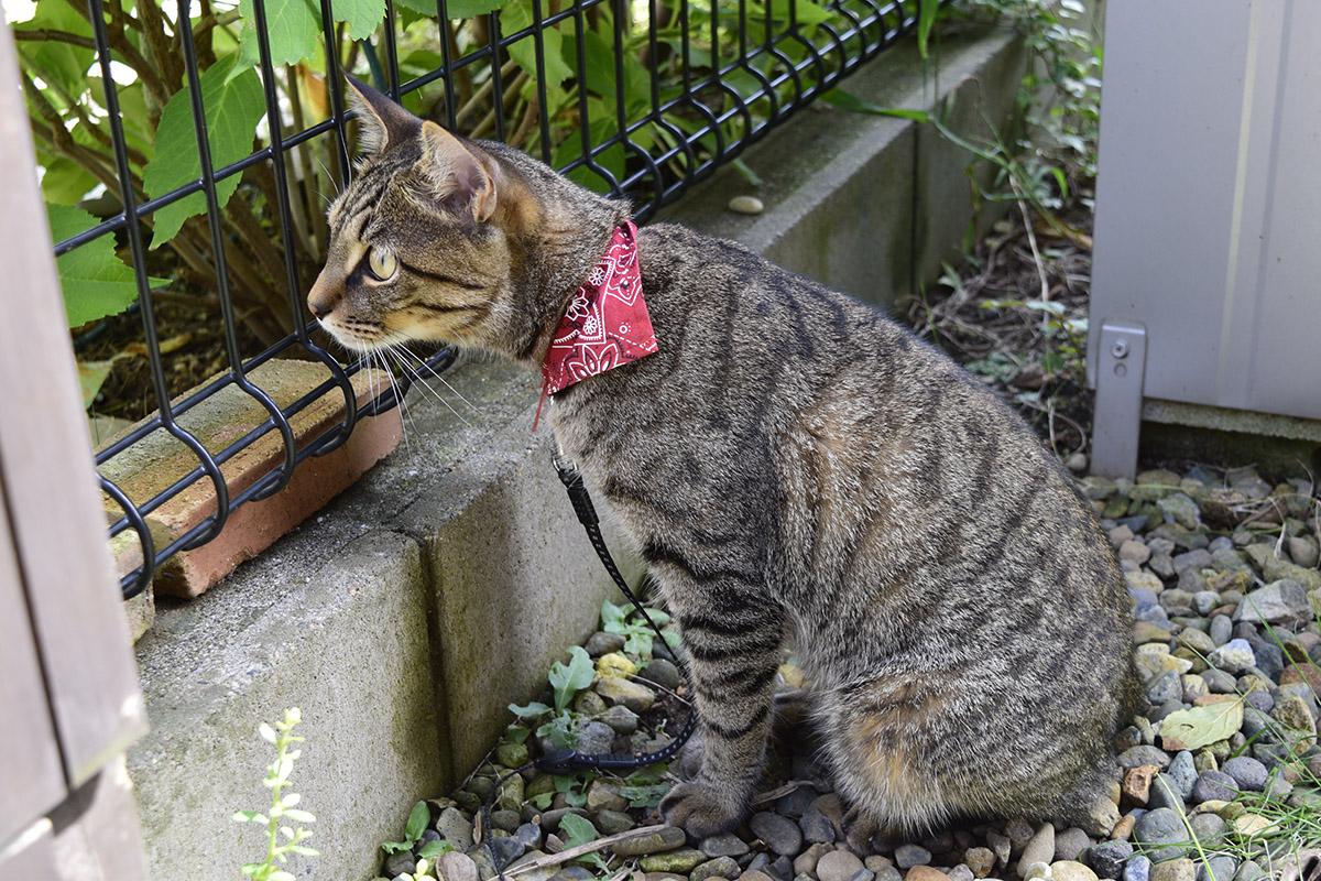 お隣の家を覗くキジトラ猫の虎ノ介