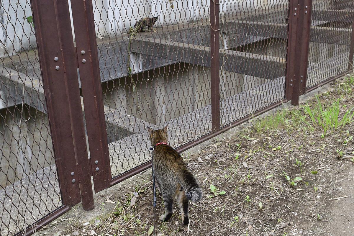 フェンスの向こうに猫をみつけたキジトラ猫の虎ノ介