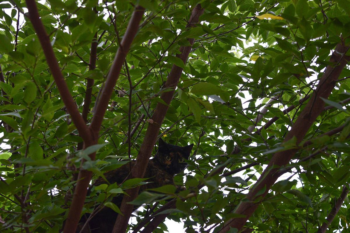 キジトラ猫の虎ノ介から逃げて木の上にのぼる野良猫