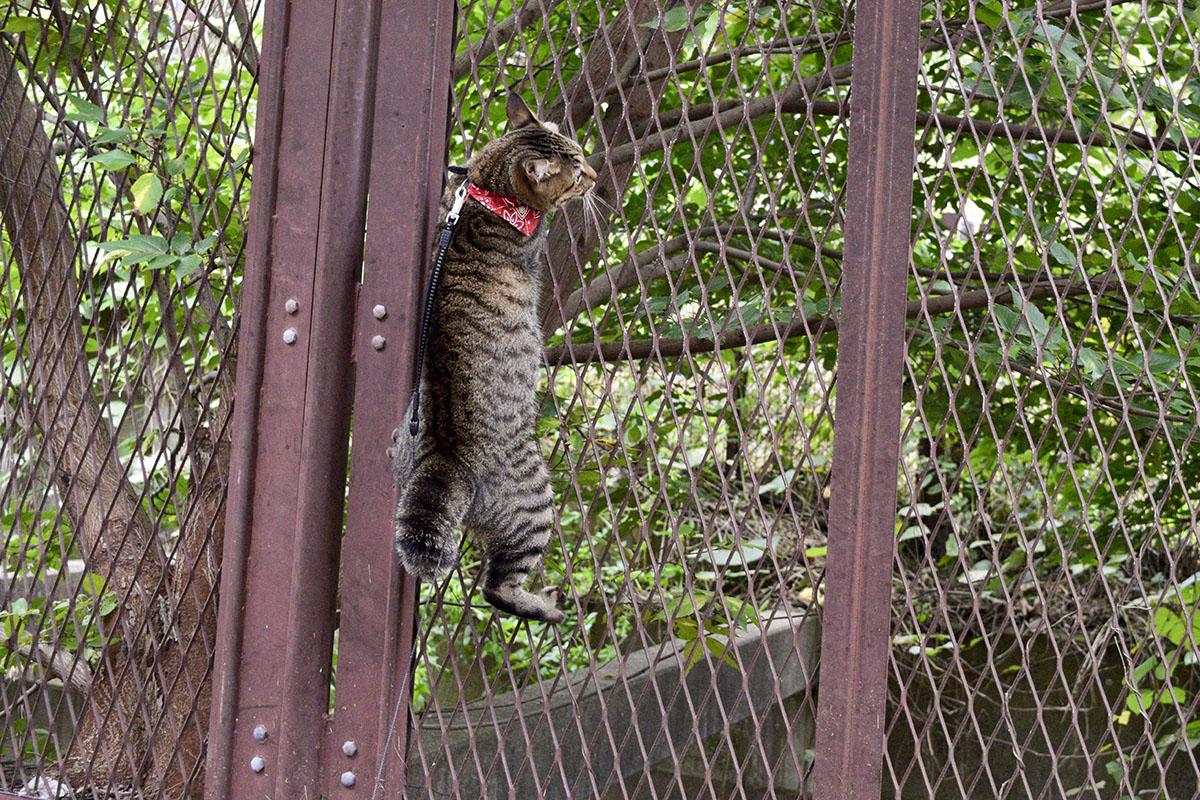 野良猫と遊びたくてフェンスによじ登る虎ノ介