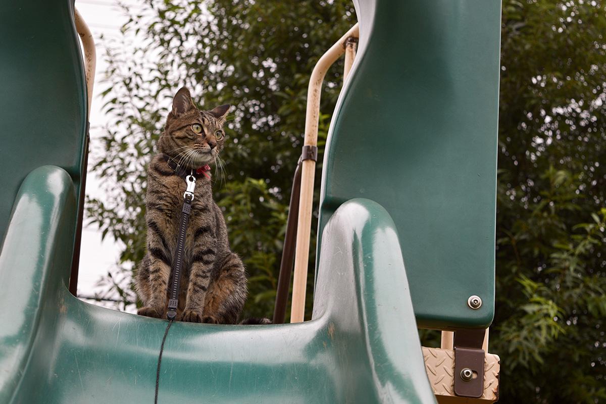 公園にいるキジトラ猫の虎ノ介
