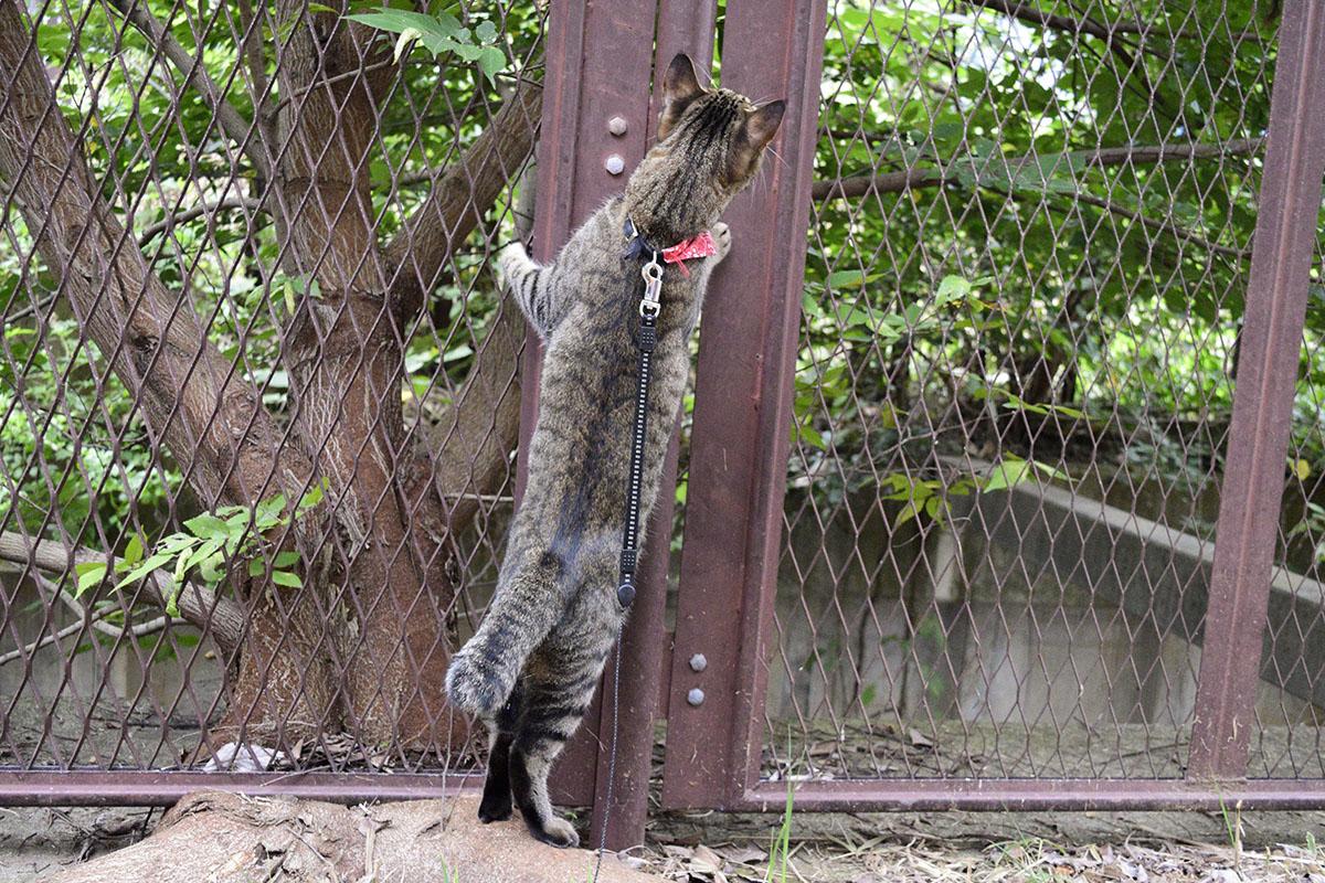 野良がいなくなったあとも探すキジトラ猫の虎ノ介