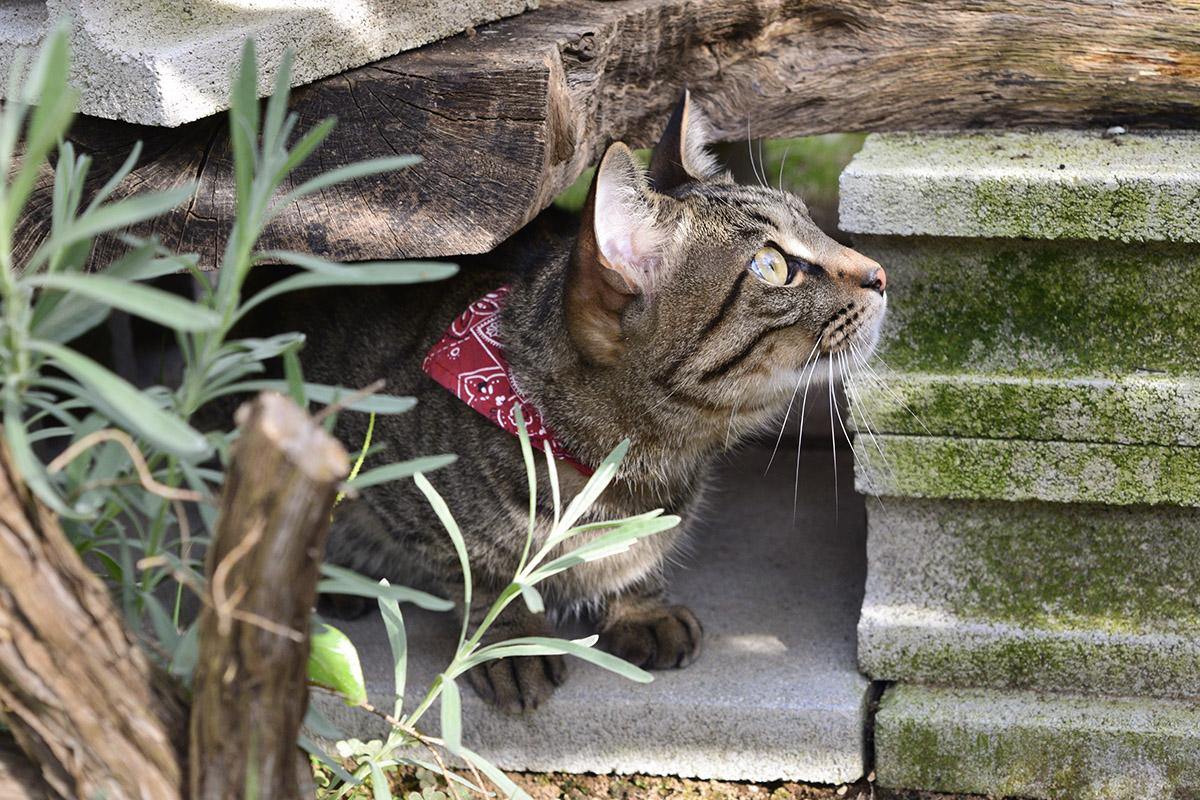 カラスが目の前に止まって目覚めるキジトラ猫の虎ノ介