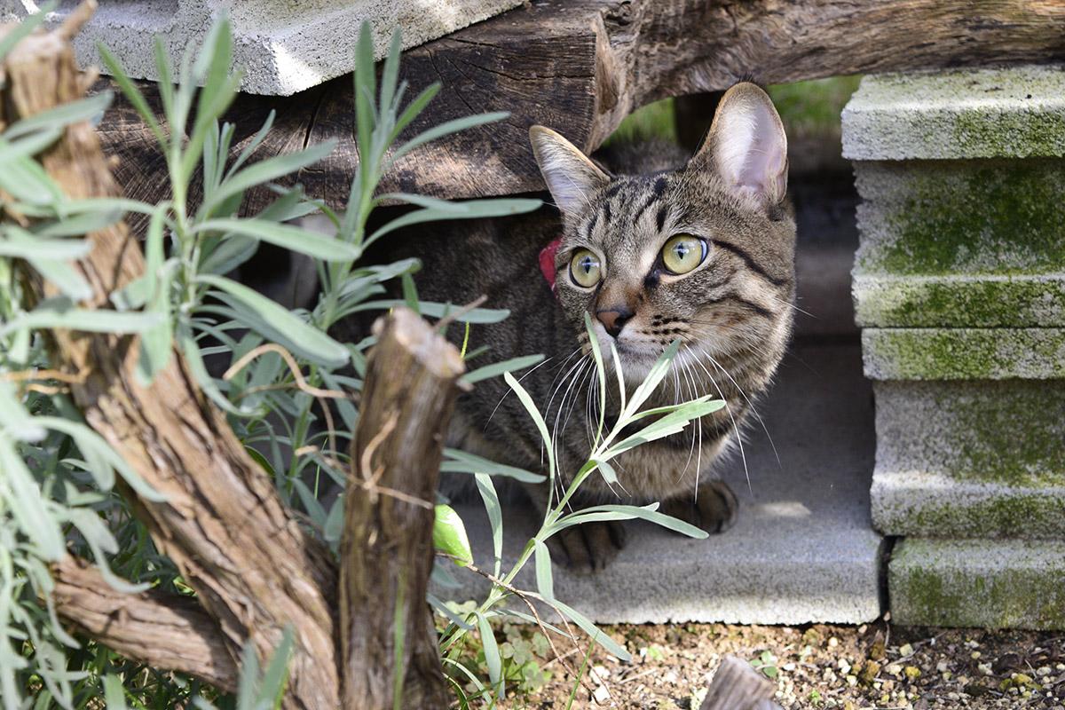 カラスを目で追うキジトラ猫の虎ノ介