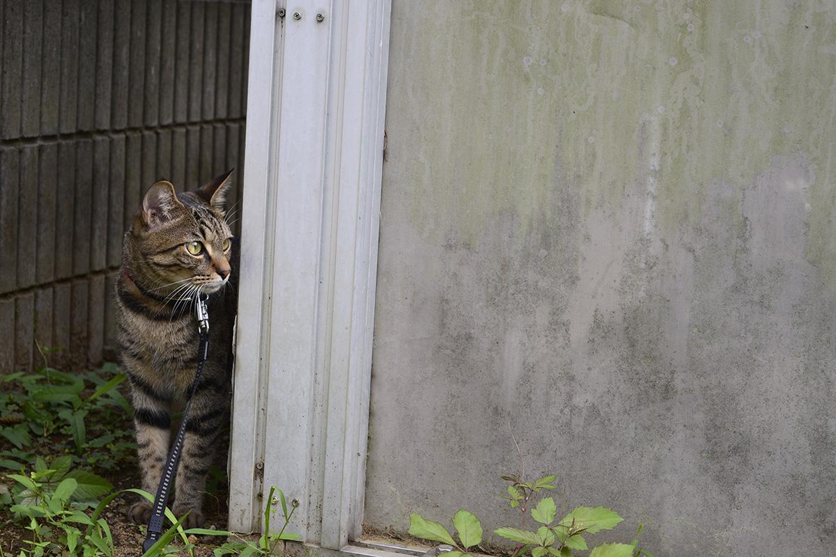 いったん引いて様子を見るキジトラ猫の虎ノ介の虎ノ介
