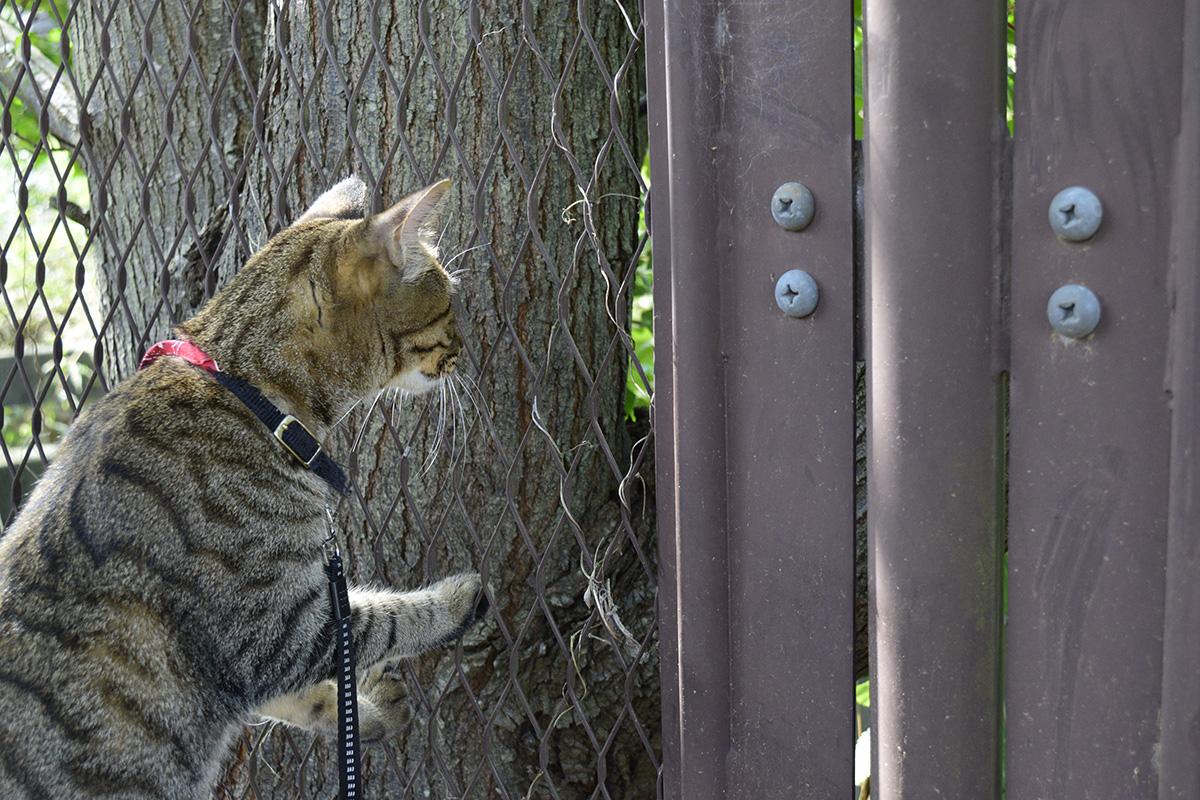 フェンスの向こうにいったカラスを覗きに行くキジトラ猫の虎ノ介