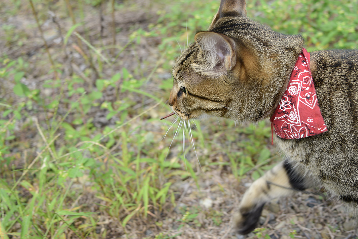 捕まえたトンボをくわえて歩くキジトラ猫の虎ノ介