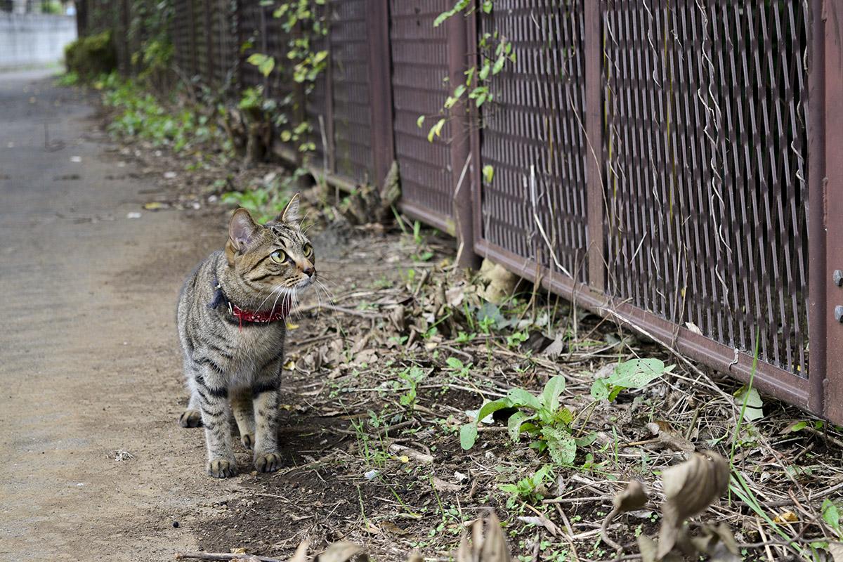 キジバトを見つめるキジトラ猫の虎ノ介