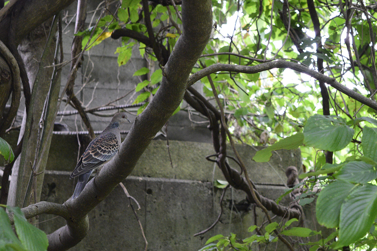 フェンスの向こうの木に止まるキジバト