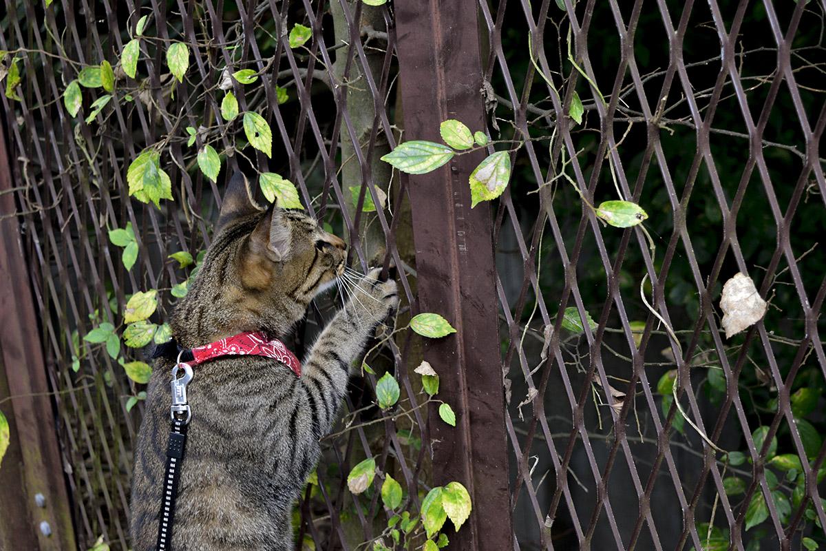 フェンスからのぞき込むキジトラ猫の虎ノ介