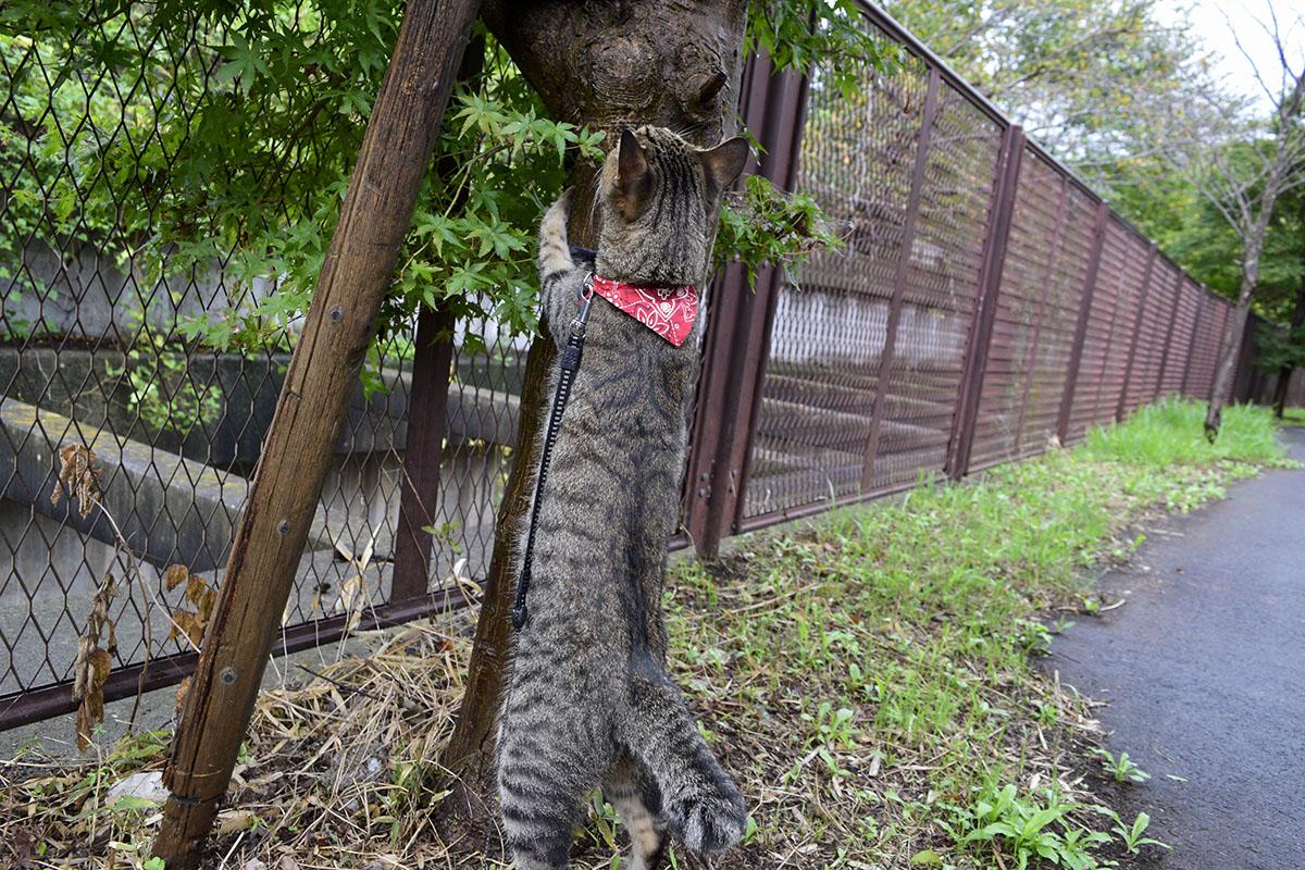 立ち上がるキジトラ猫の虎ノ介