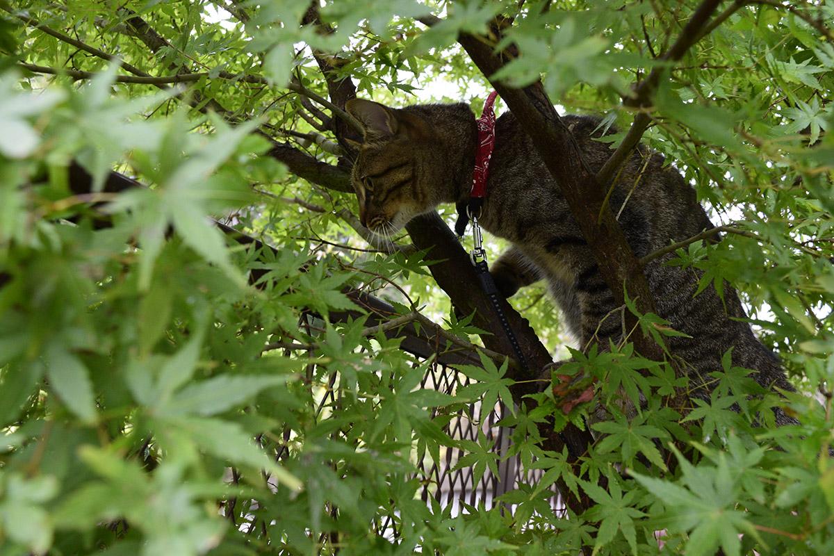 枝にのぼるキジトラ猫の虎ノ介