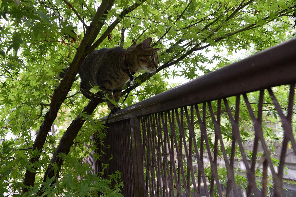 フェンスの上に登る虎ノ介