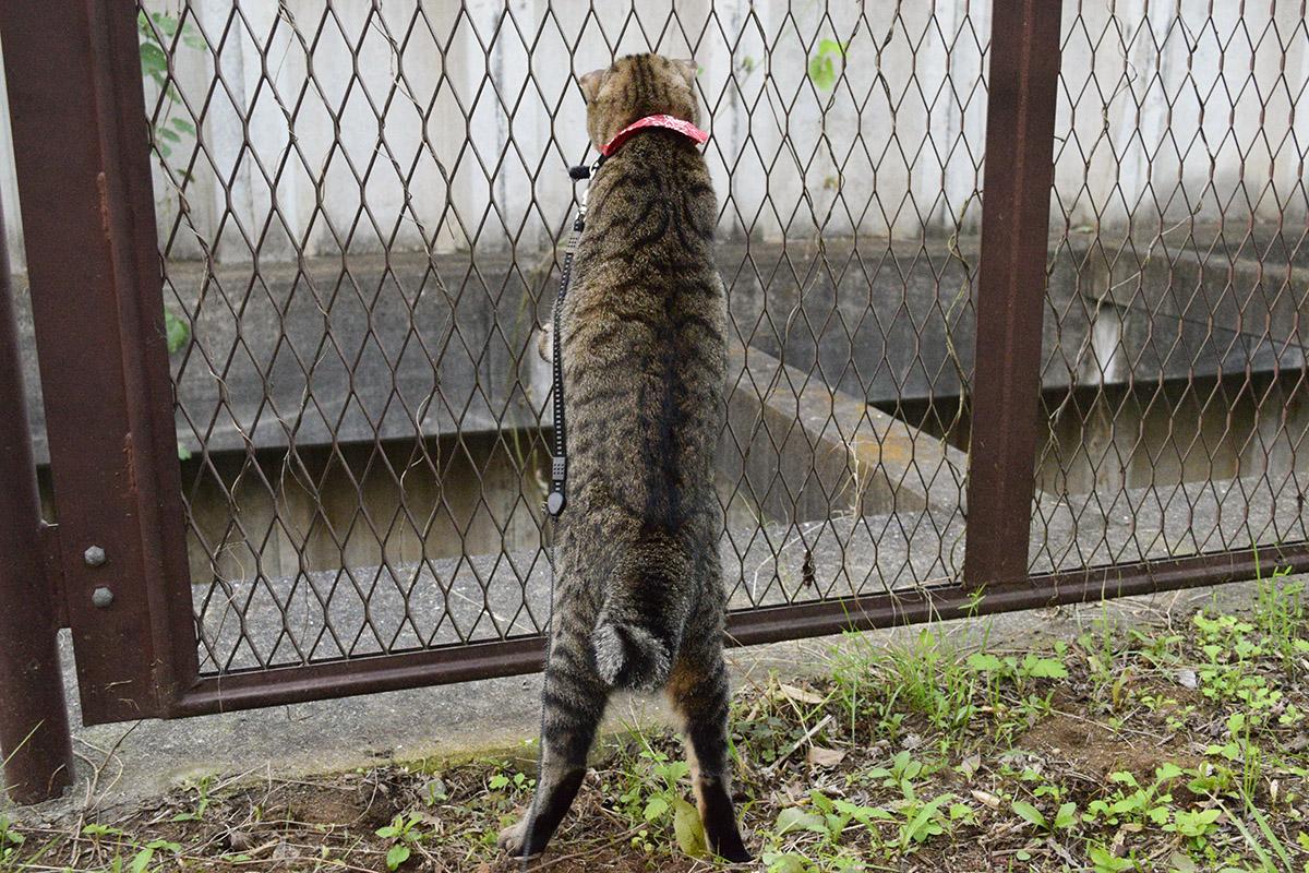 夢中でフェンスの向こうを覗くキジトラ猫の虎ノ介