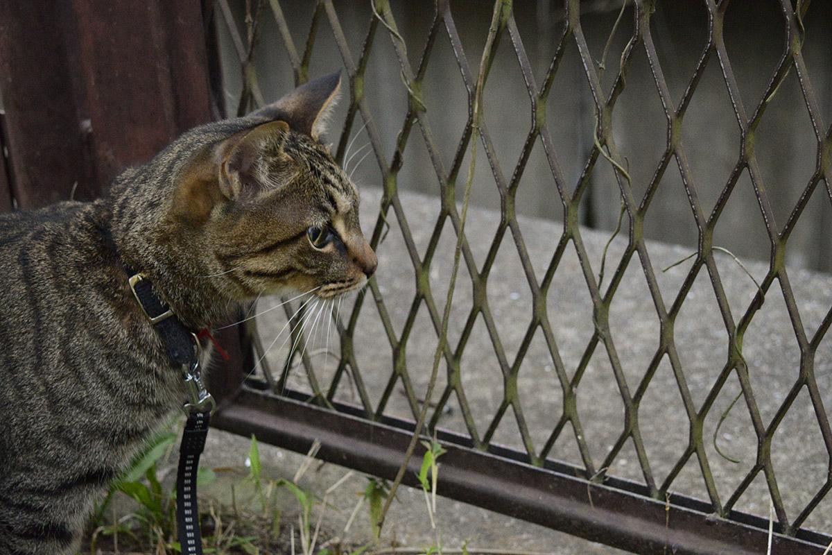 フェンスの向こうに何かを落とされたキジトラ猫の虎ノ介
