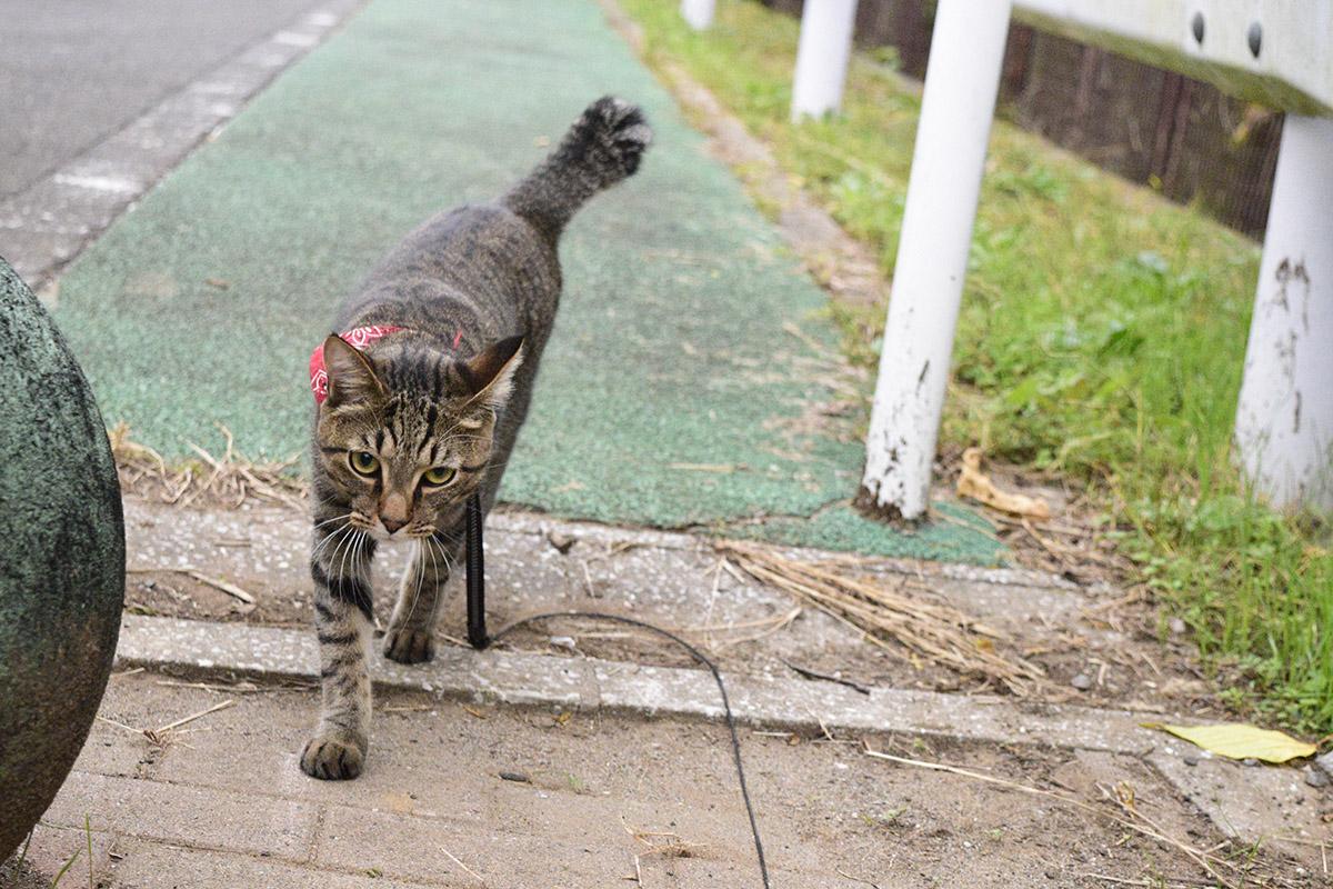 いつもよりも遠くまで散歩にいこうとするキジトラ猫の虎ノ介