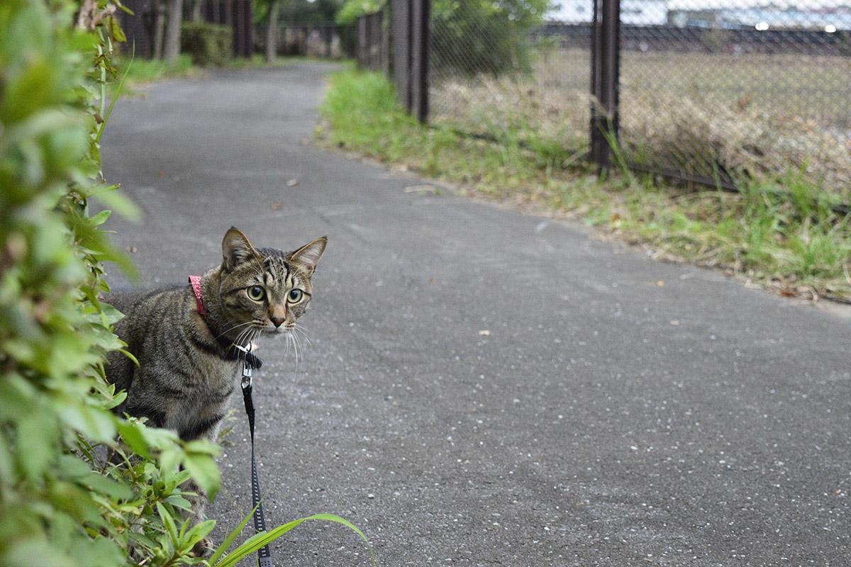 周りに警戒しながら進むキジトラ猫の虎ノ介