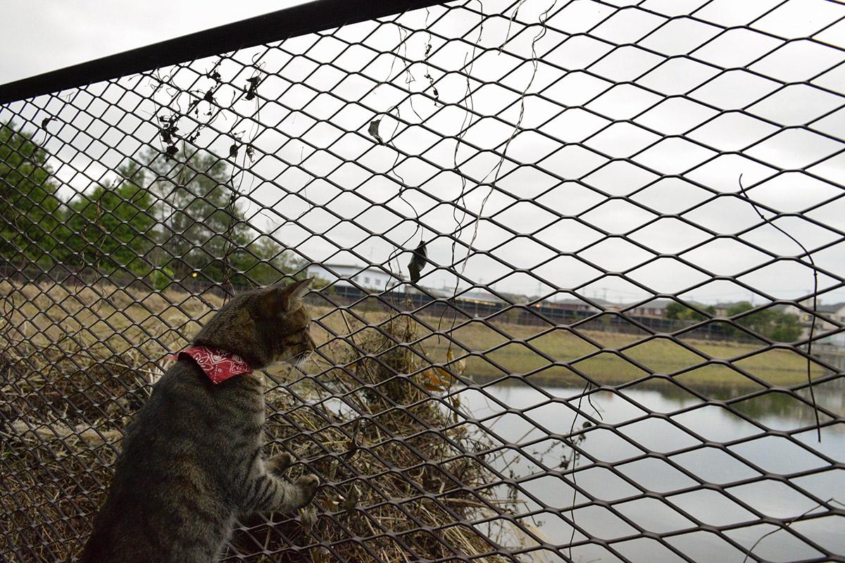 フェンス越しに調整池をみるキジトラ猫の虎ノ介