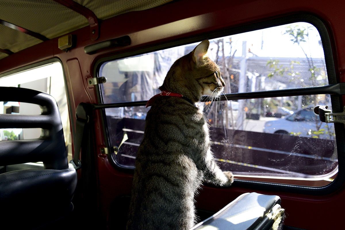 窓からの景色を眺めるキジトラ猫の虎ノ介