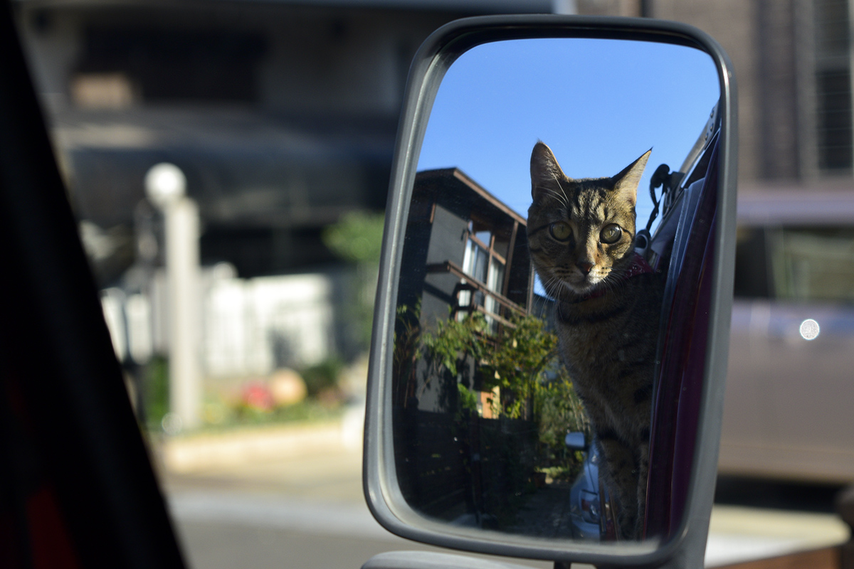 鏡にうつる自分をながめるキジトラ猫の虎ノ介
