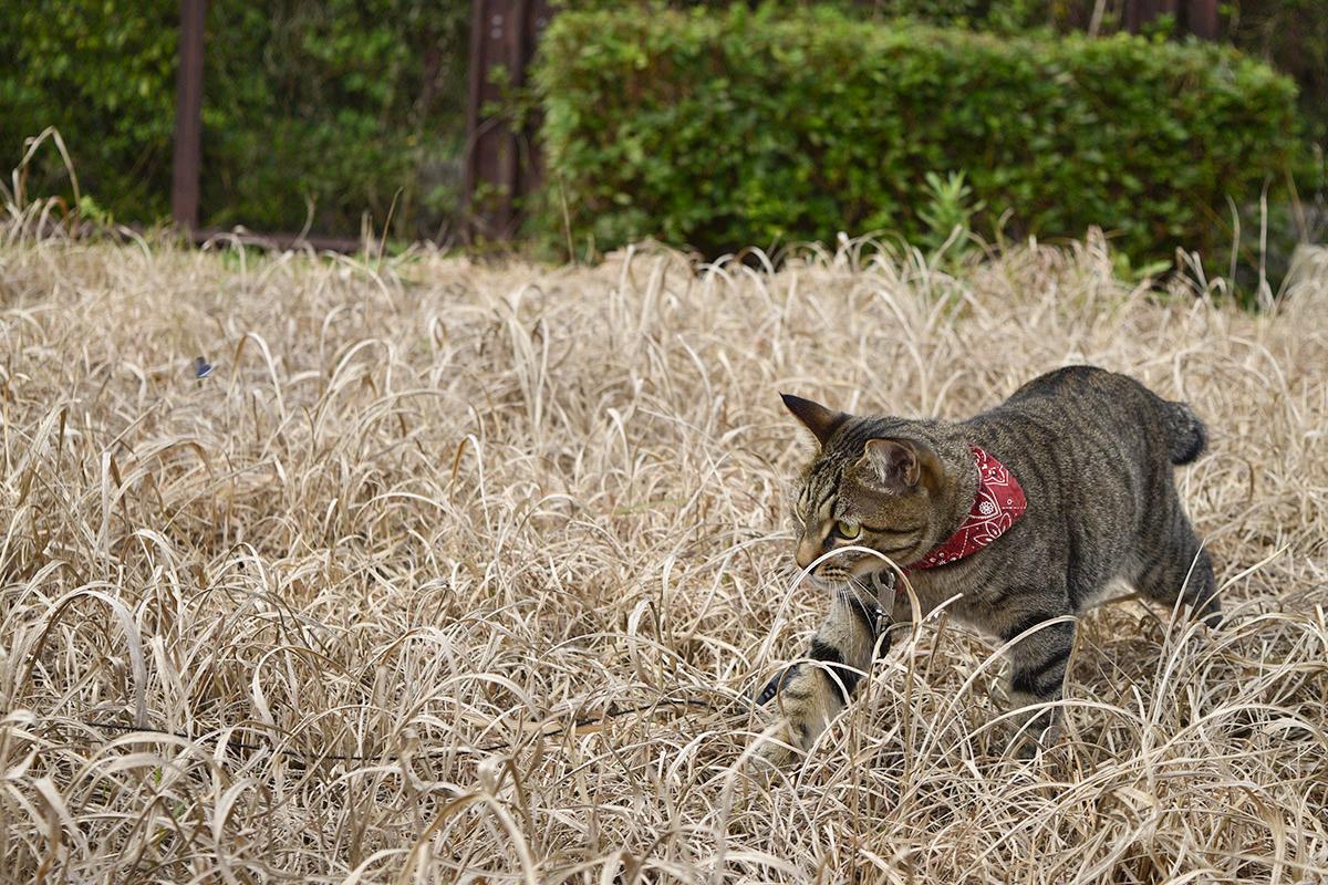 枯草の中を歩くキジトラ猫の虎ノ介