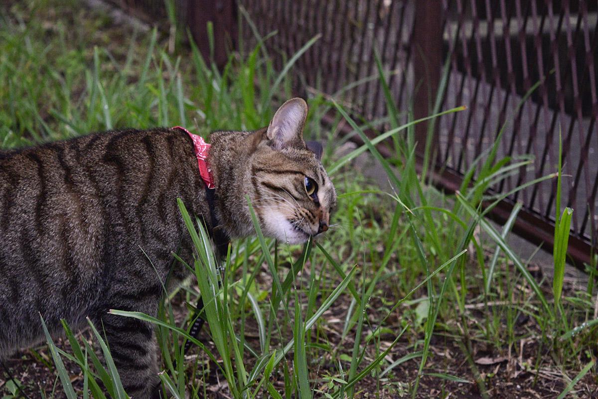 雨上がりに草を食べるキジトラ猫の虎ノ介