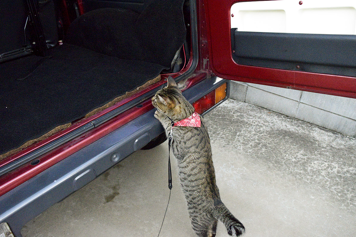 後ろから車をのぞき込むキジトラ猫の虎ノ介