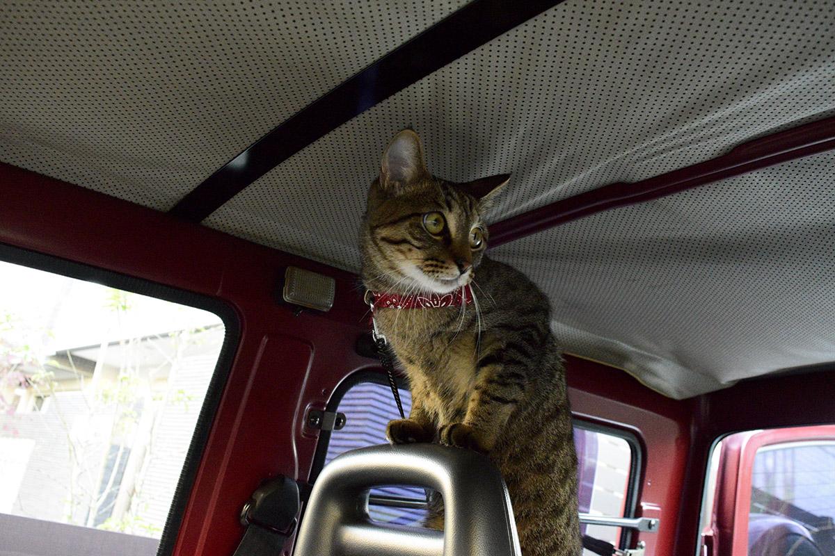 運転席の後ろにたつキジトラ猫の虎ノ介