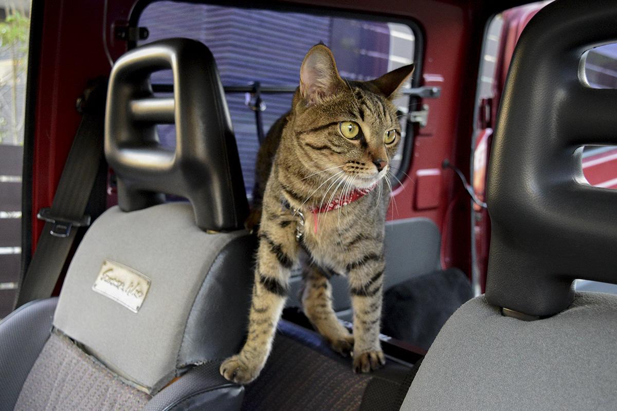 車の中のキジトラ猫の虎ノ介