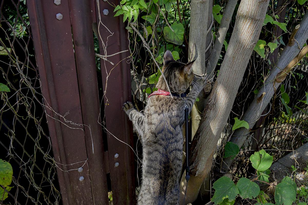 木のつるに反応するキジトラ猫の虎ノ介