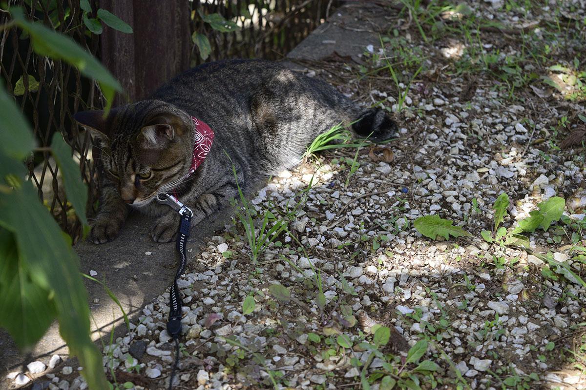 ヘビがでてきるのを待つキジトラ猫の虎ノ介