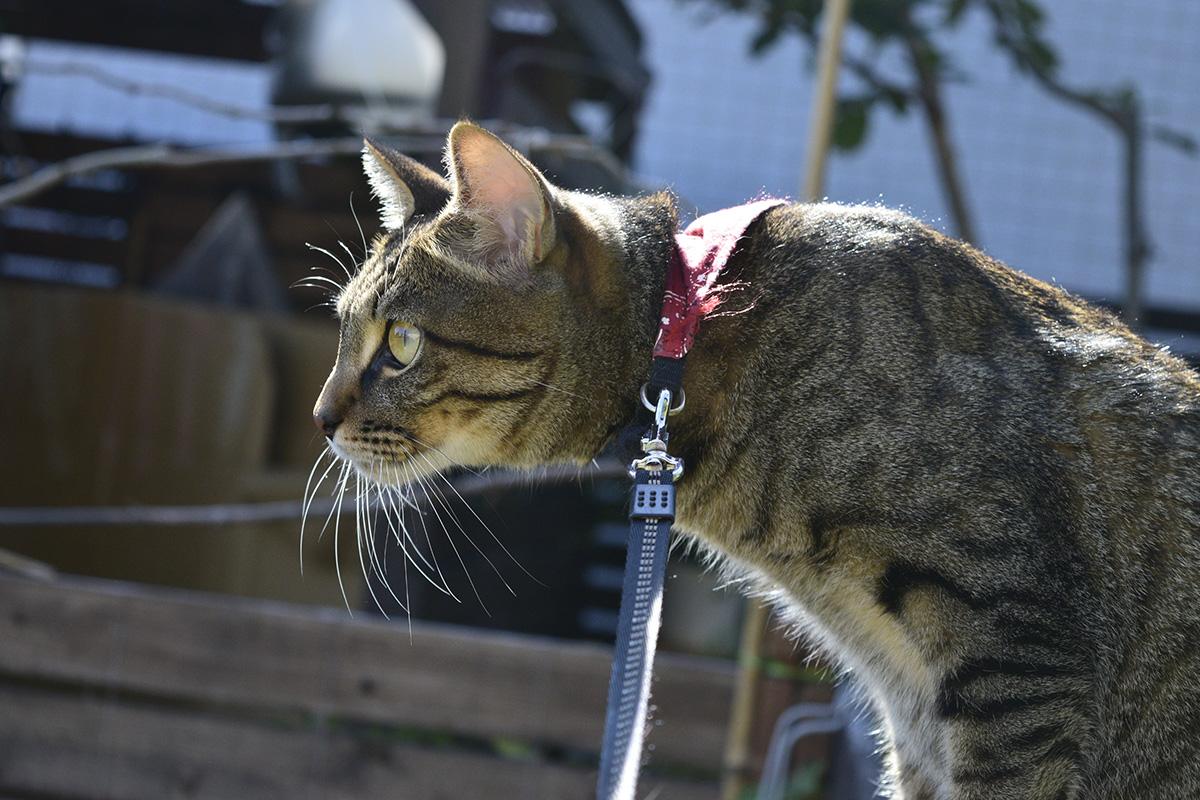 トンボを発見したキジトラ猫の虎ノ介