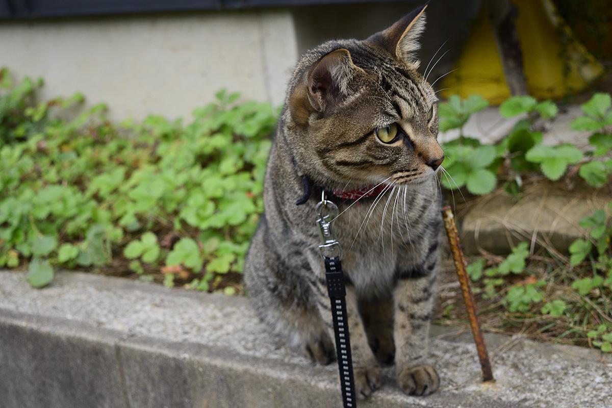 犬の散歩を後ろからのぞくキジトラ猫の虎ノ介