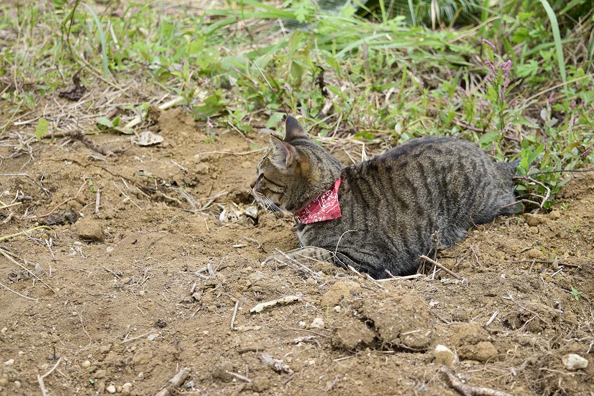 土の上ではしゃぐキジトラ猫の虎ノ介