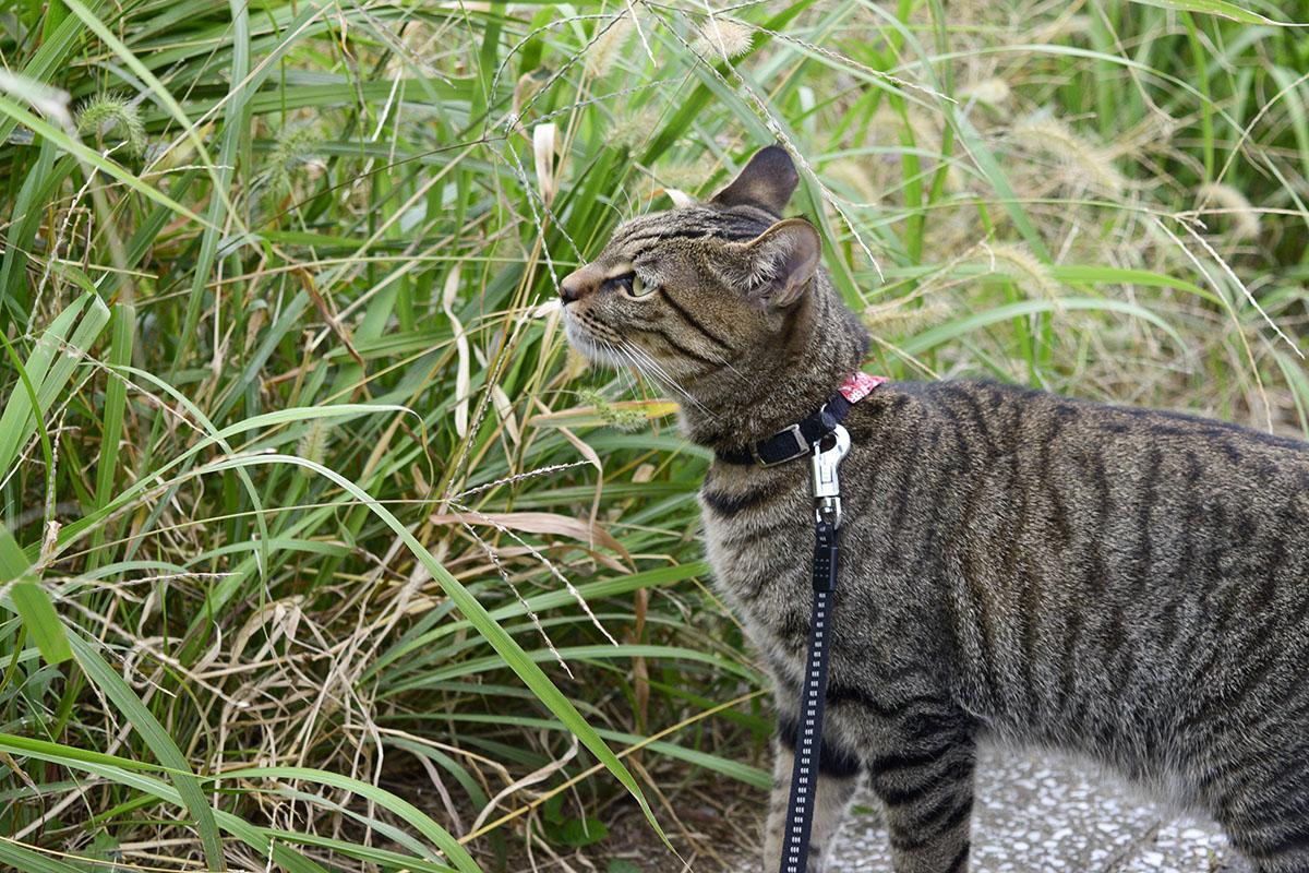 草のチェックをするキジトラ猫の虎ノ介