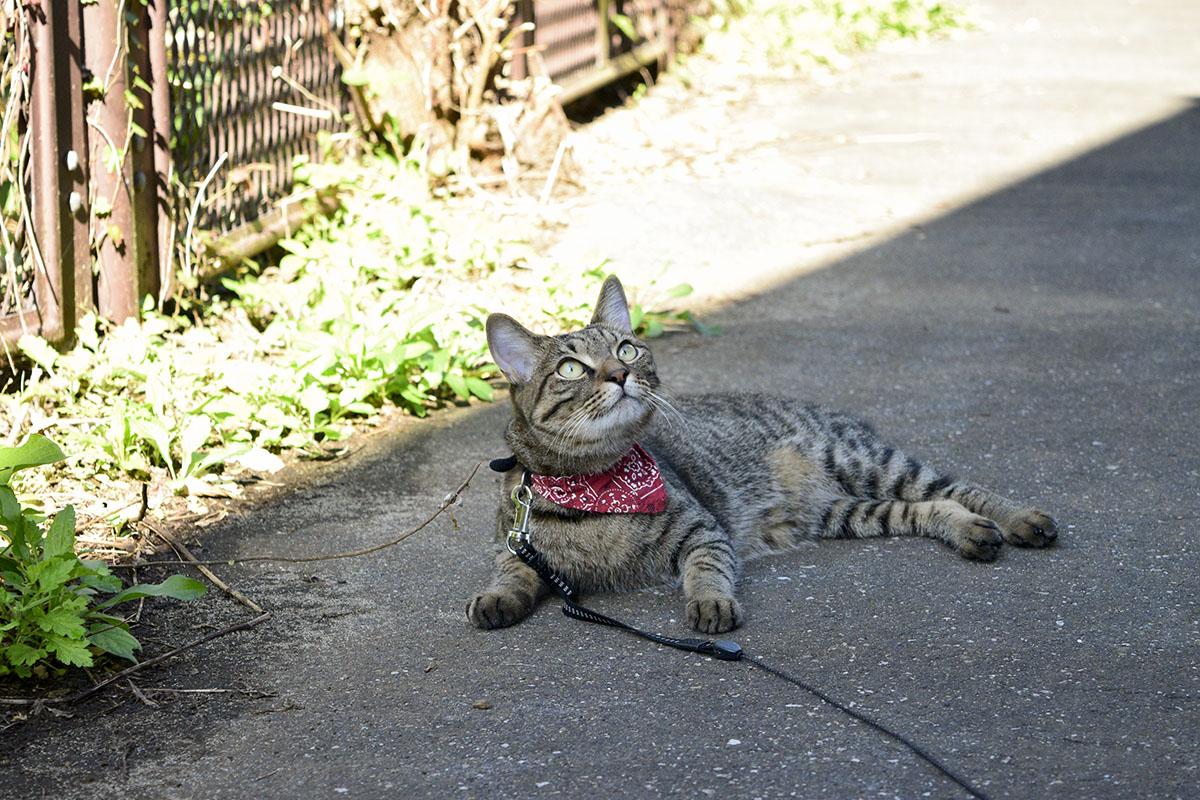 日陰で休憩するキジトラ猫の虎ノ介