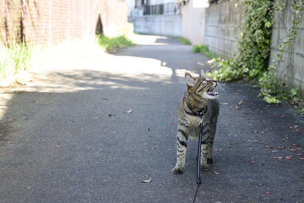 日陰で鳥に吠えるキジトラ猫の虎ノ介