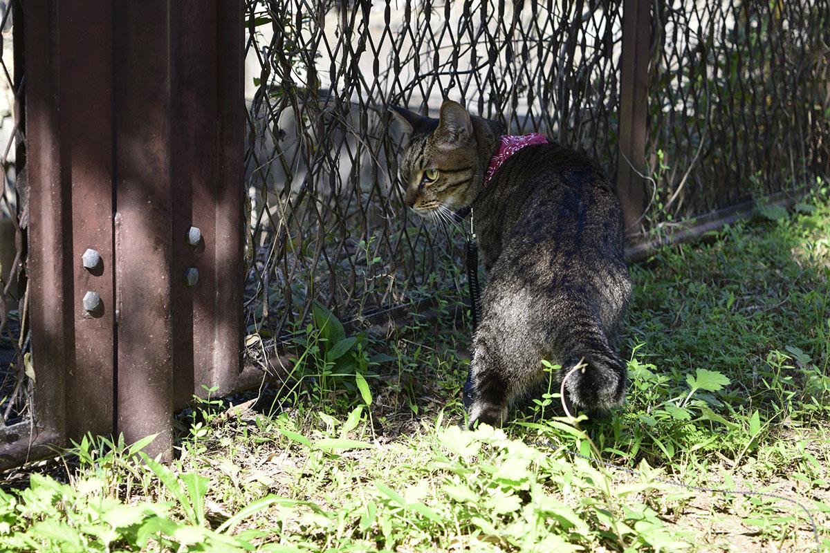 日陰でフェンスの向こうをみるキジトラ猫の虎ノ介