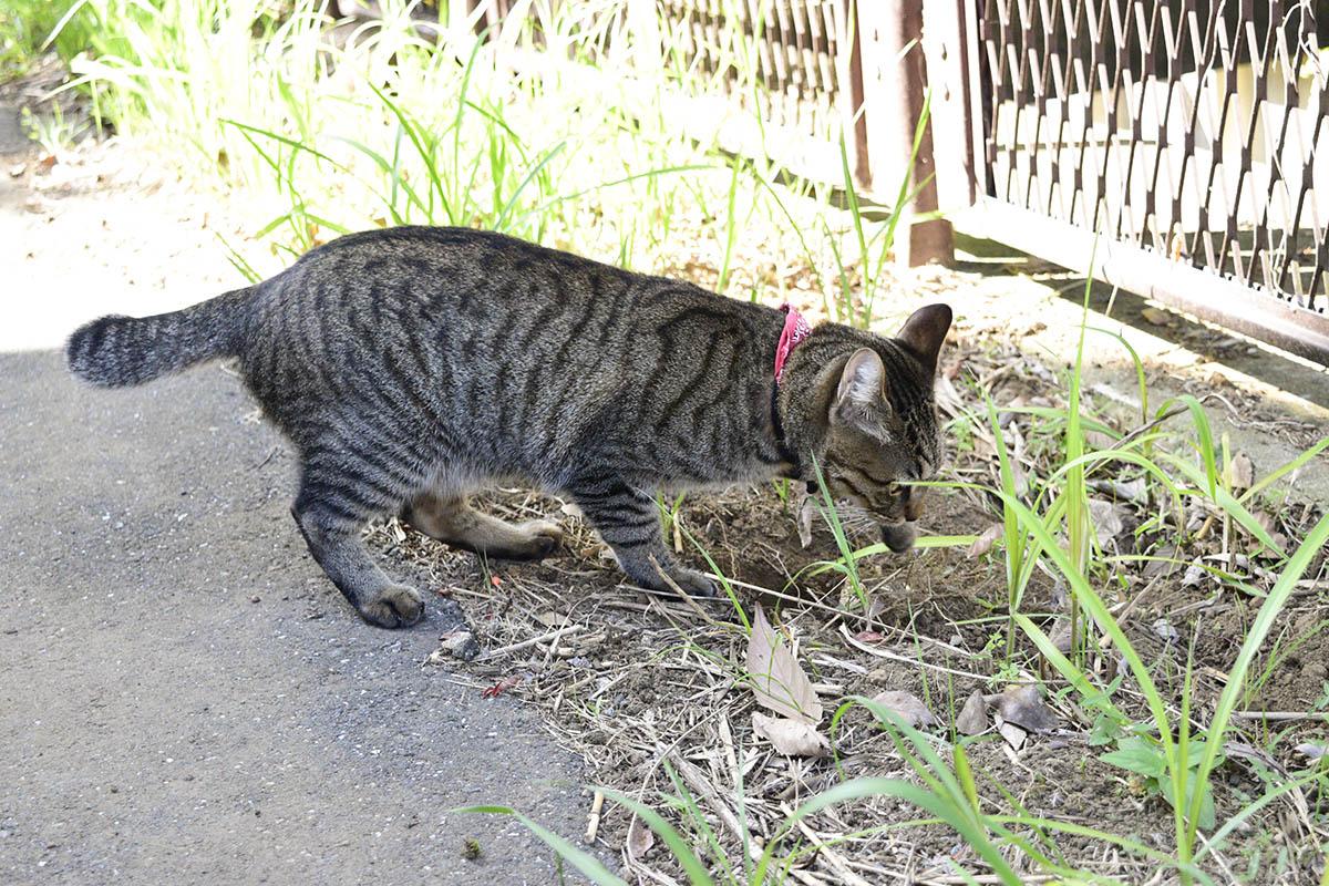 穴を掘るキジトラ猫の虎ノ介