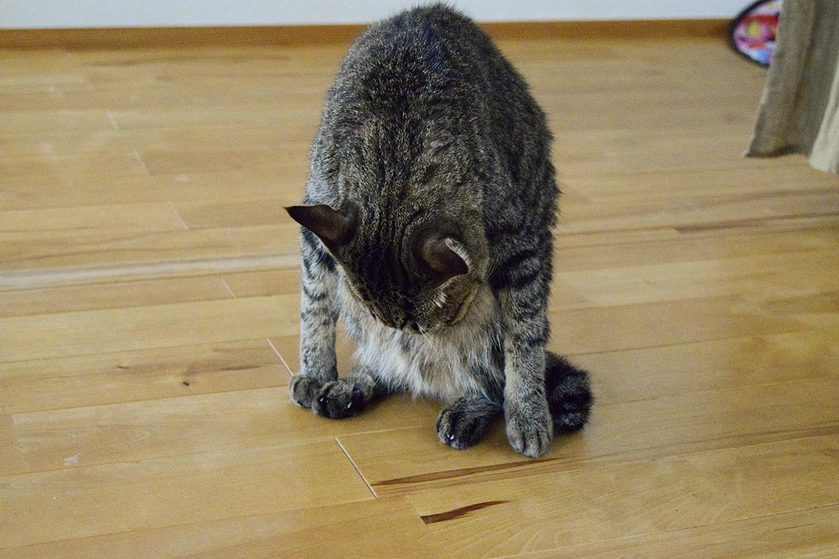 毛づくろい中のキジトラ猫の虎ノ介