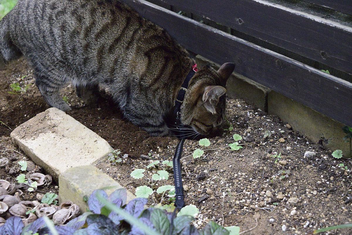 庭で穴を掘るキジトラ猫の虎ノ介