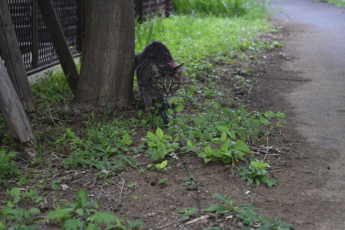 雨宿りするキジトラ猫の虎ノ介