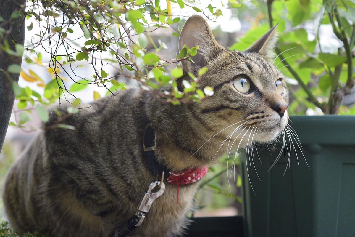 植木鉢の隙間から顔をだすキジトラ猫の虎ノ介