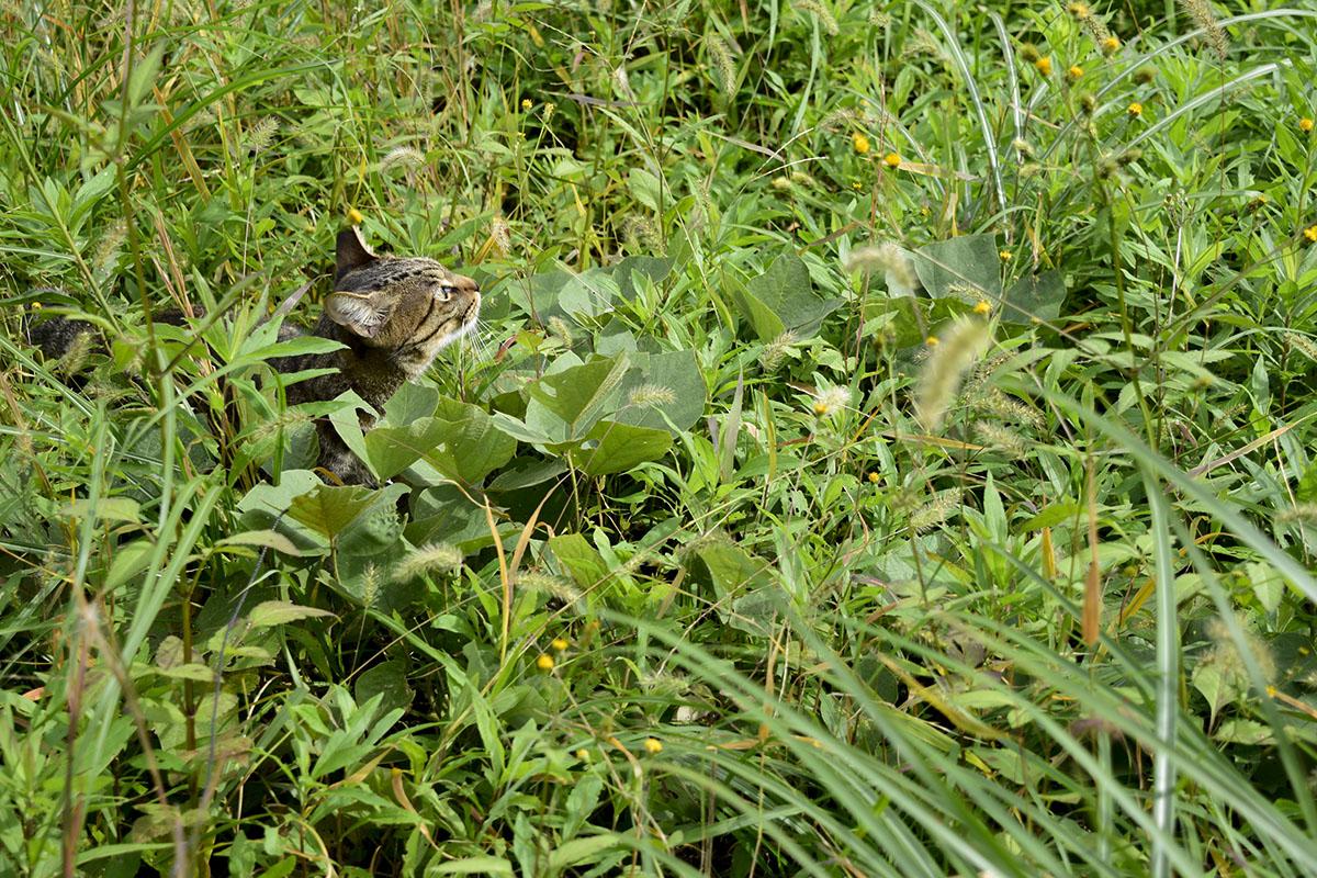 草むらから顔をだすキジトラ猫の虎ノ介